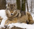 Romania's wolf and brown