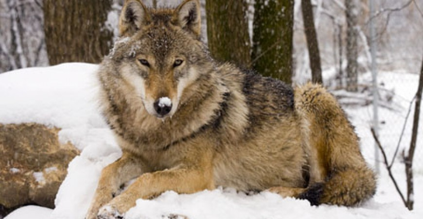 Take Part in Romania's Wolf and Bear Tracking