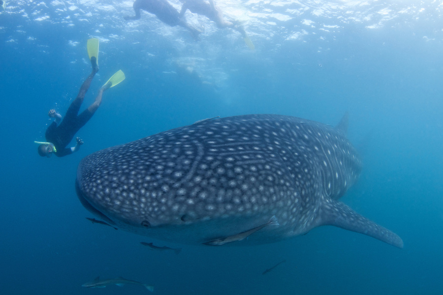 Whale Sharks at Donsol